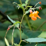photo of Spotted Jewelweed with pods