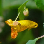 photo of Spotted Jewelweed