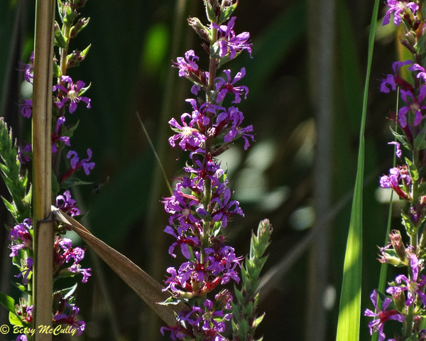 photo of Purple Loosestrife (Lythrum salicaria)