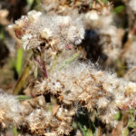 photo of Marsh Fleabane in seed