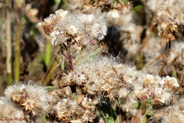 photo of sweet-scented camphorweed in seed