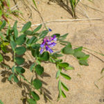photo of beach pea