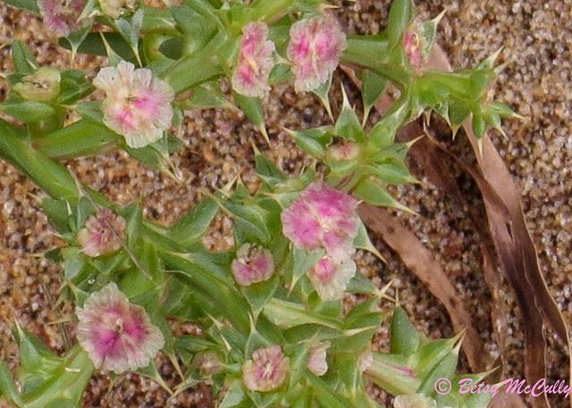 Photo of flowering Saltwort