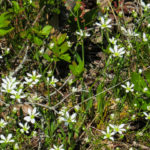 photo of Pine Barrens Sandwort in dunes