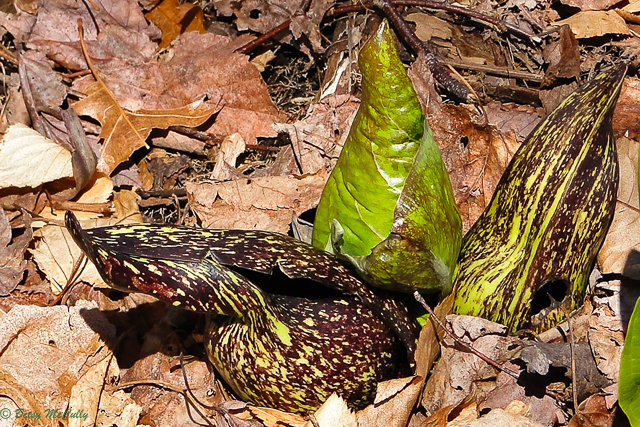 photo of Skunk Cabbage