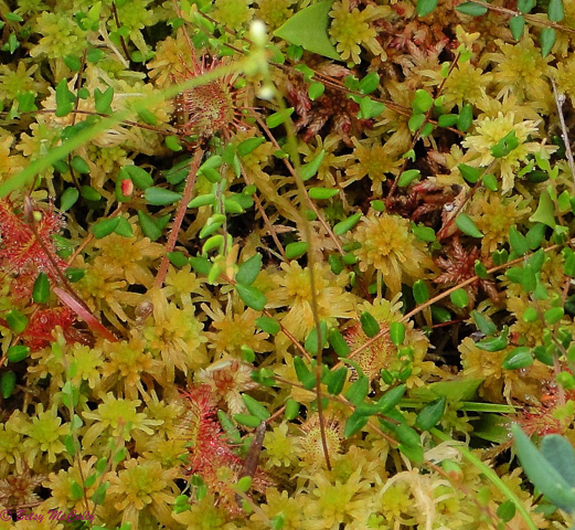 photo of Round-leaved Sundew in sphagnum moss