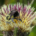photo of Yellow Thistle with bumblebee pollinator