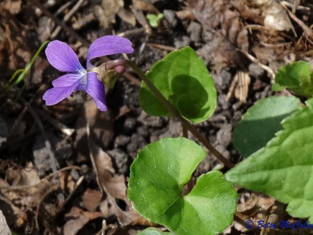 photo of Blue Marsh Violet
