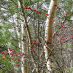 photo of winterberry fruits and birch trees