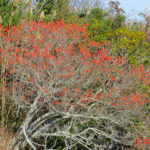 photo of winterberry shrub