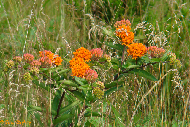 photo of Butterfly Weed