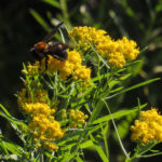 photo of Common Grass-leaved Goldenrod