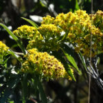 photo of Sweet Goldenrod