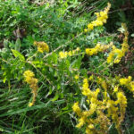 photo of Common Wrinkle-leaved Goldenrod
