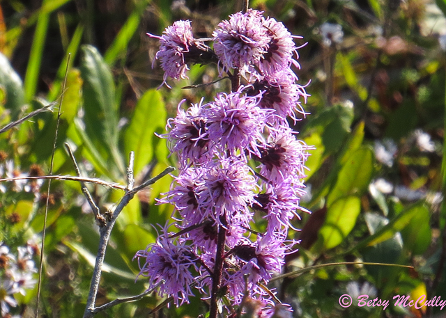 photo of New England Blazing-star