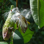 photo of milkweed pods and seeds