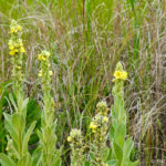 photo of Common Mullein
