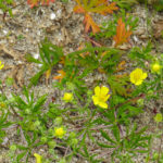 photo of Silvery Cinquefoil