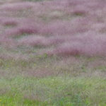 photo of Purple Love Grass