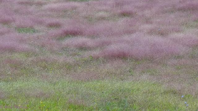 photo of Purple Love Grass
