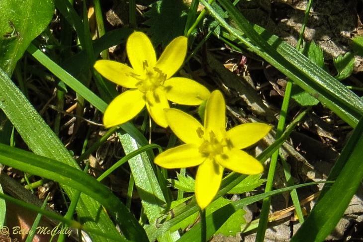 photo of Yellow Stargrass