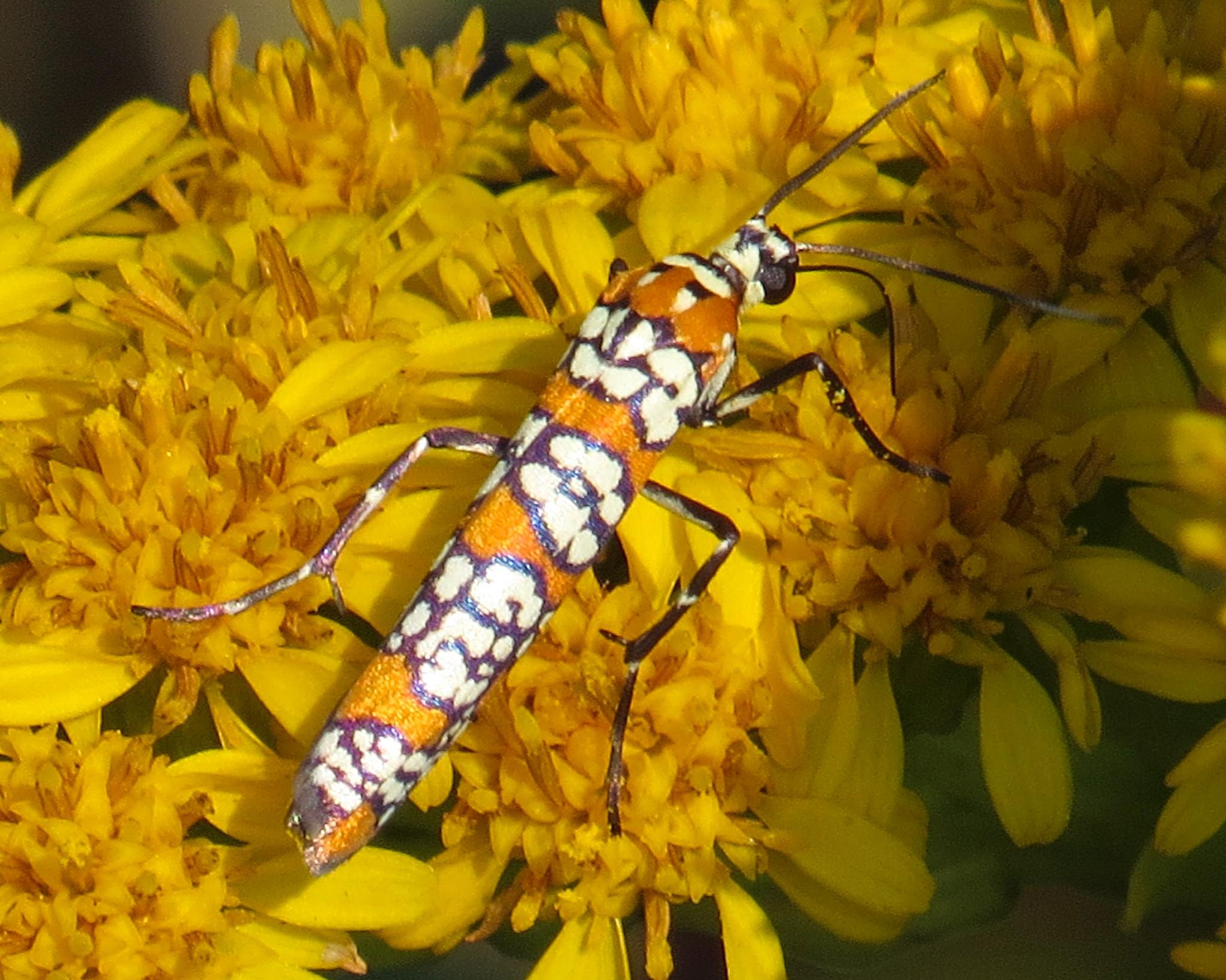 Ailanthus Webworm Moth in goldenrod