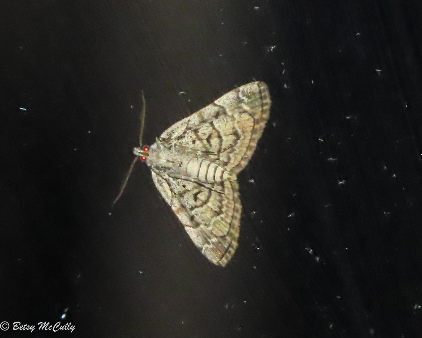 Photo of American Idia moth ventral view