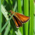 Photo of European Skipper