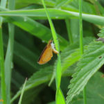 Photo of Least Skipper in grass