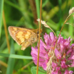 Photo of Peck's Skipper nectaring in red clover