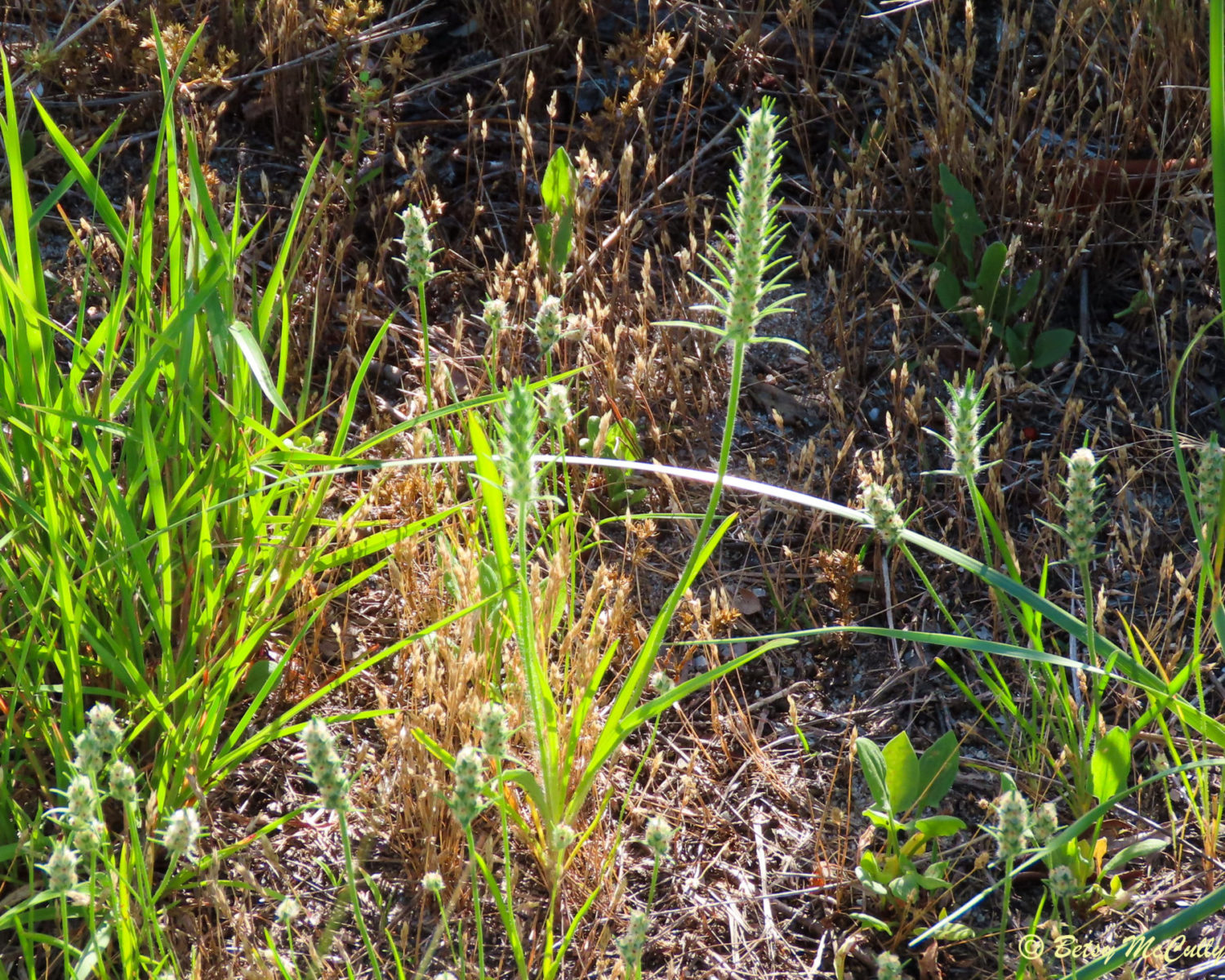 Photo of Bracted Plantain