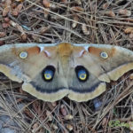 Photo of Polyphemus moth