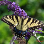 Photo of Tiger Swallowtail in buddleia