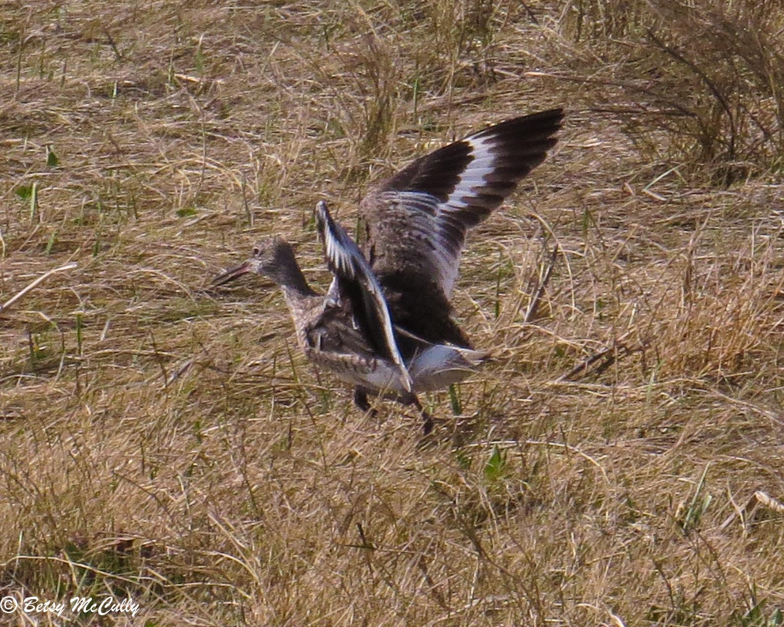 Photo of Willet taking flight