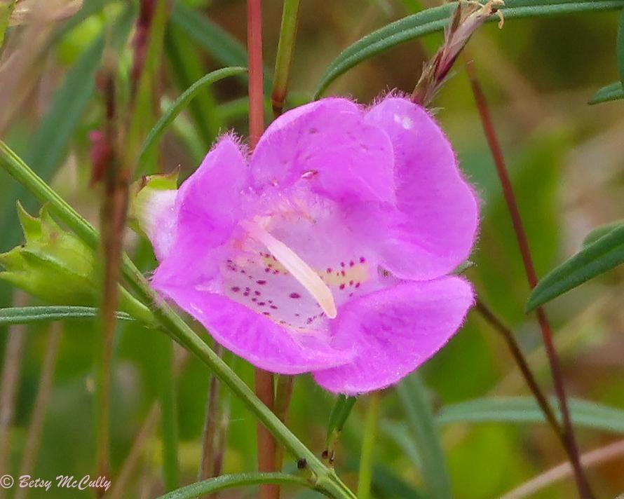 Photo of Agalinis purpurea