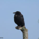 Photo of American Crow