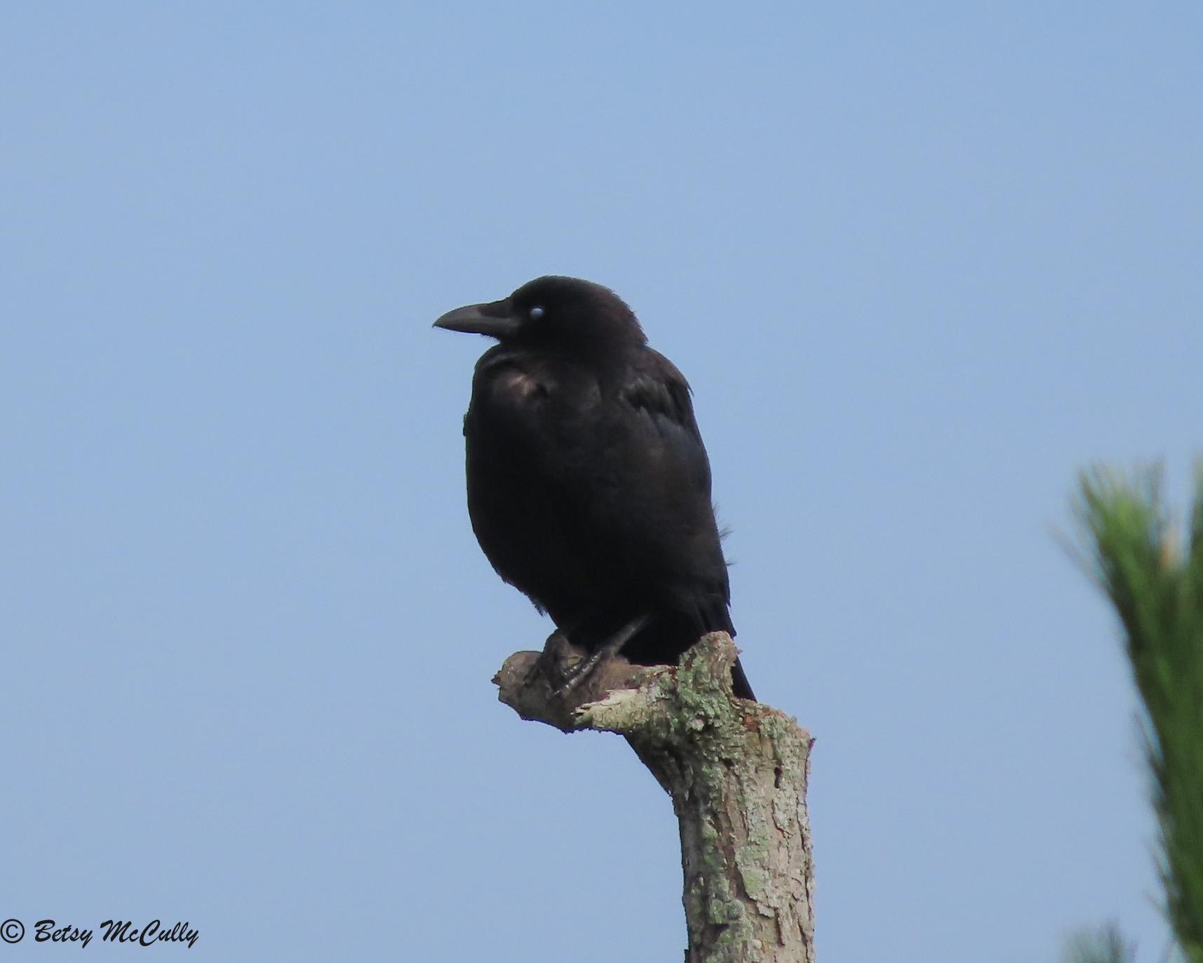 Photo of American Crow