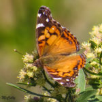Photo of American Lady nectaring in groundsel bush