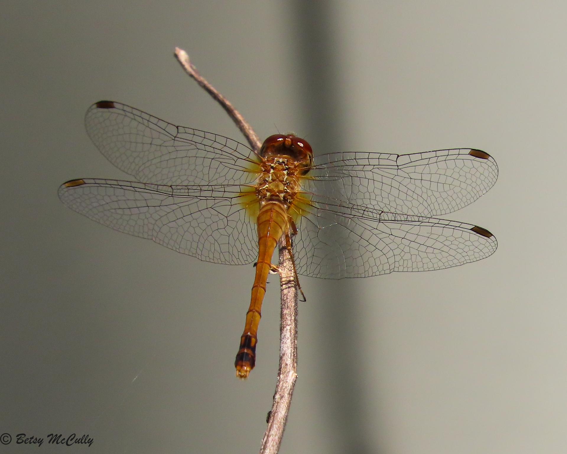 Photo of Autumn Meadowhawk