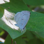 Photo of Summer Azure on leaf