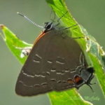 Photo of Banded Hairstreak on leaf
