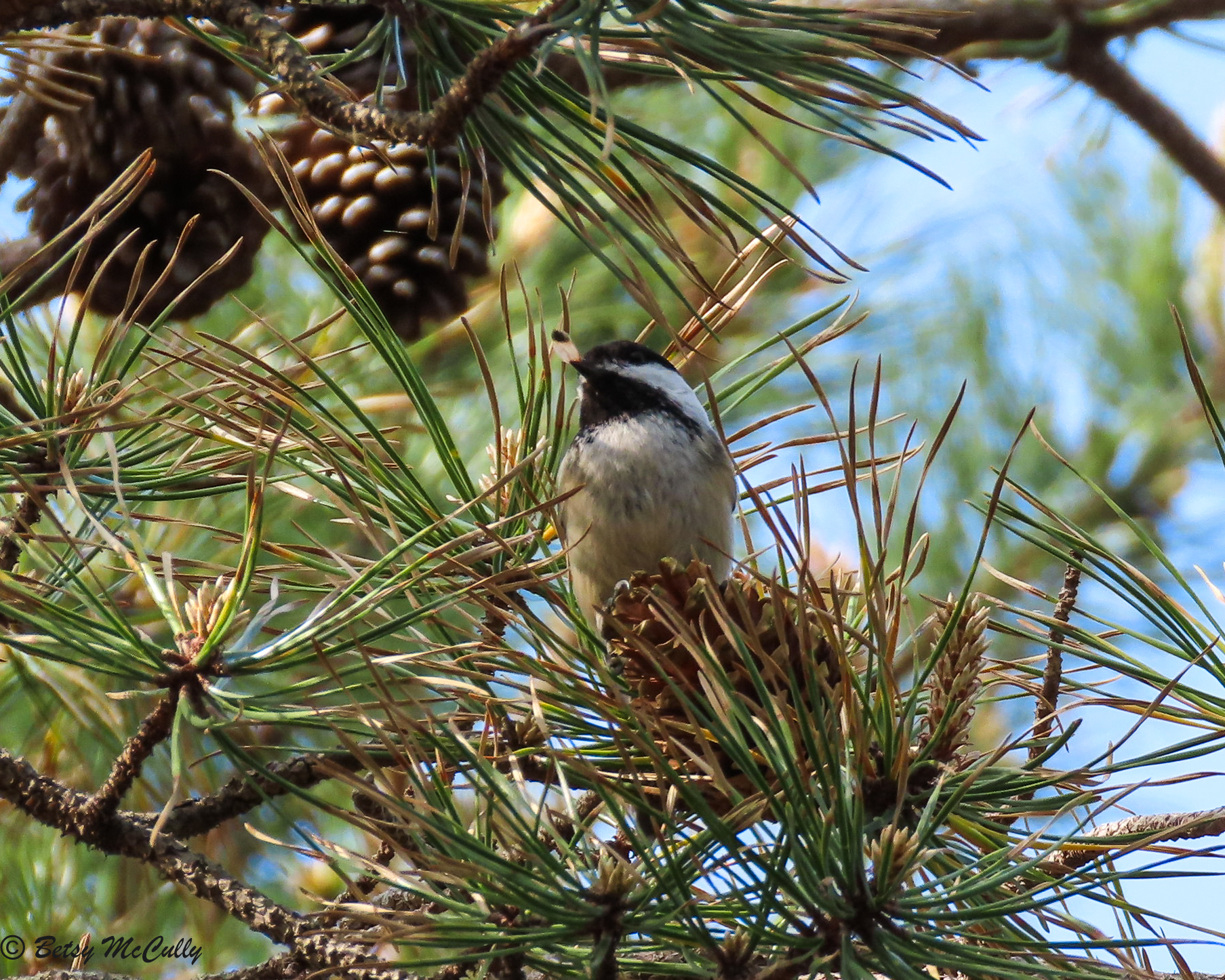 Photo of Black-capped Chickadee with pine seed