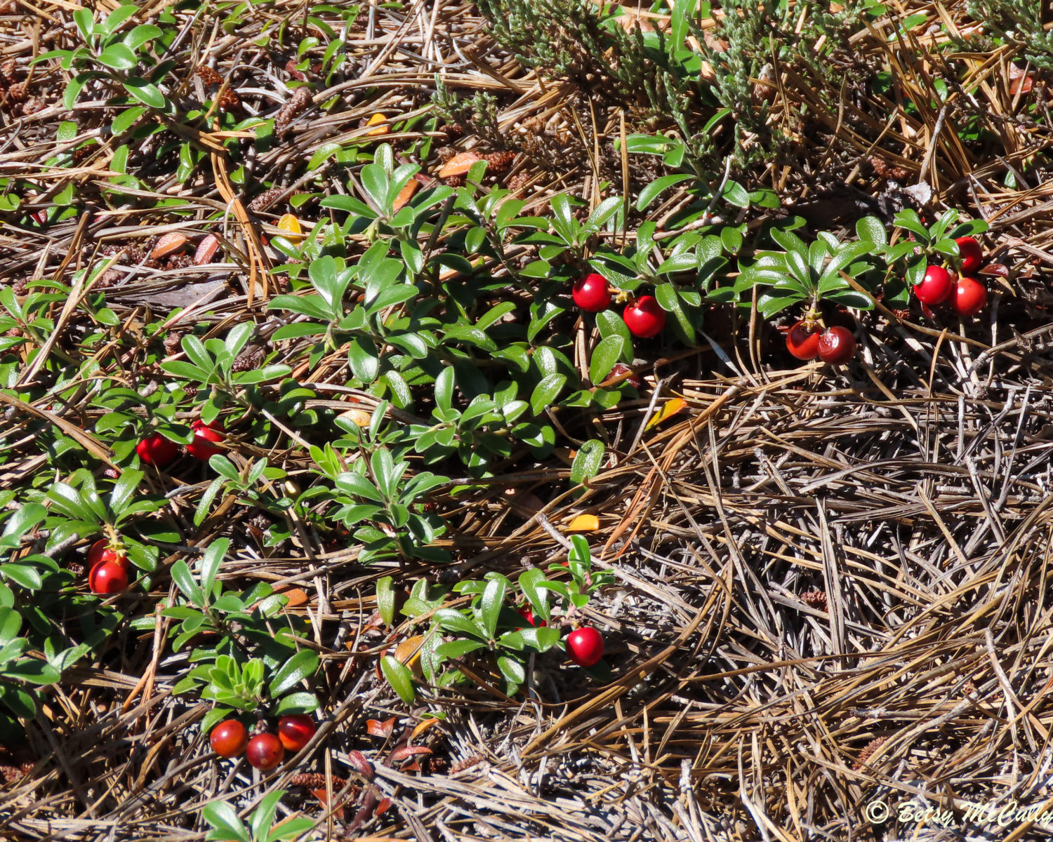 Photo of bearberry
