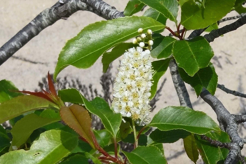 Photo of Wild Black Cherry