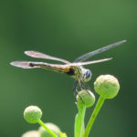 Photo of Blue Dasher female