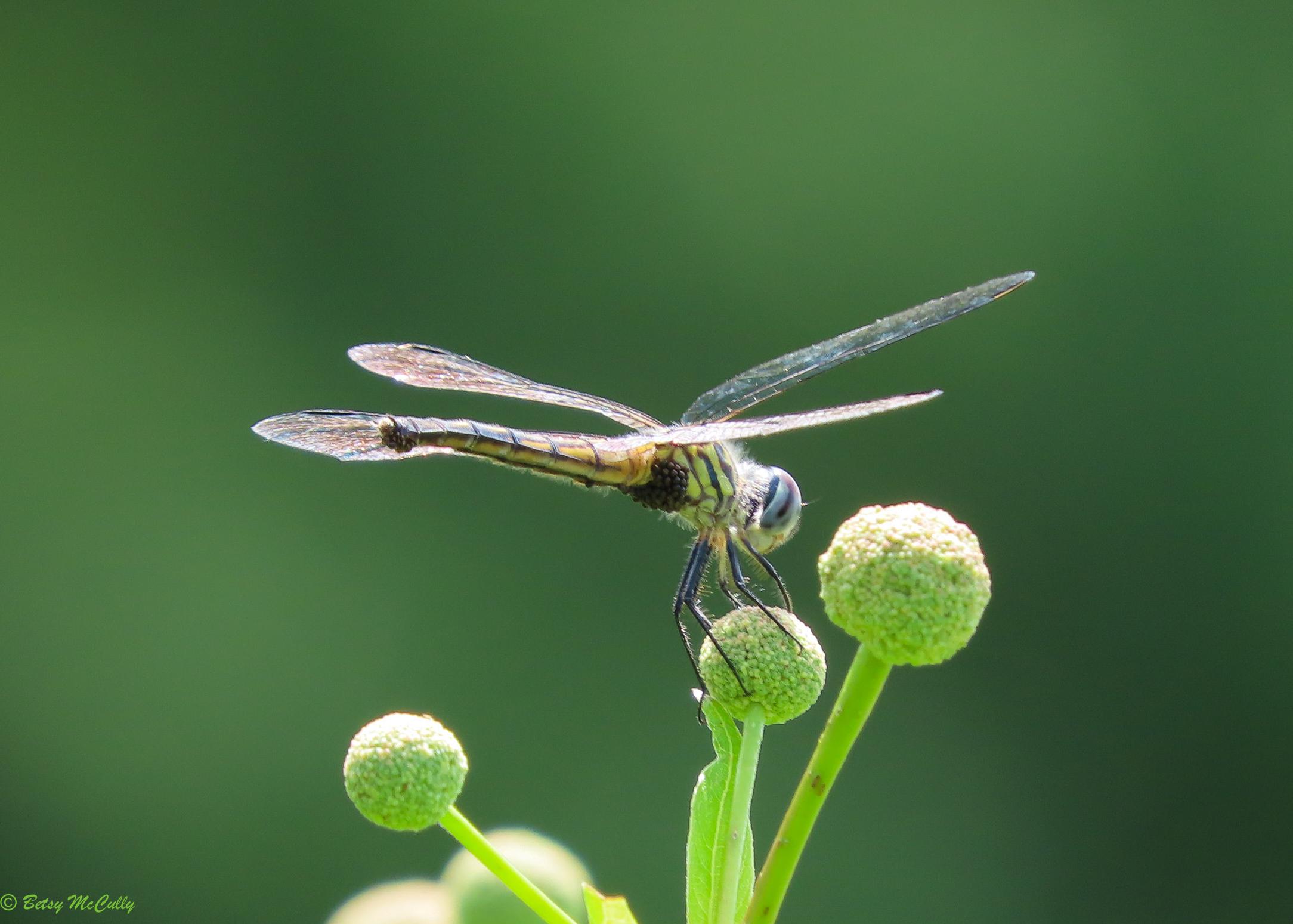 Photo of Blue Dasher female