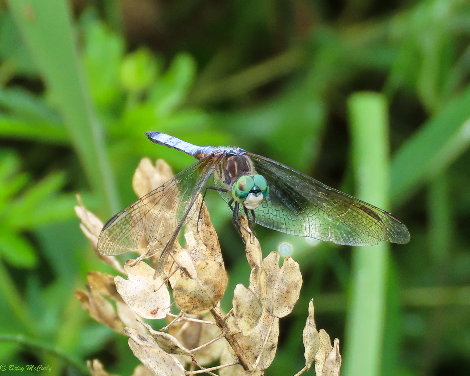 Photo of Blue Dasher male