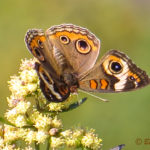 Photo of Common Buckeye in Groundsel Bush