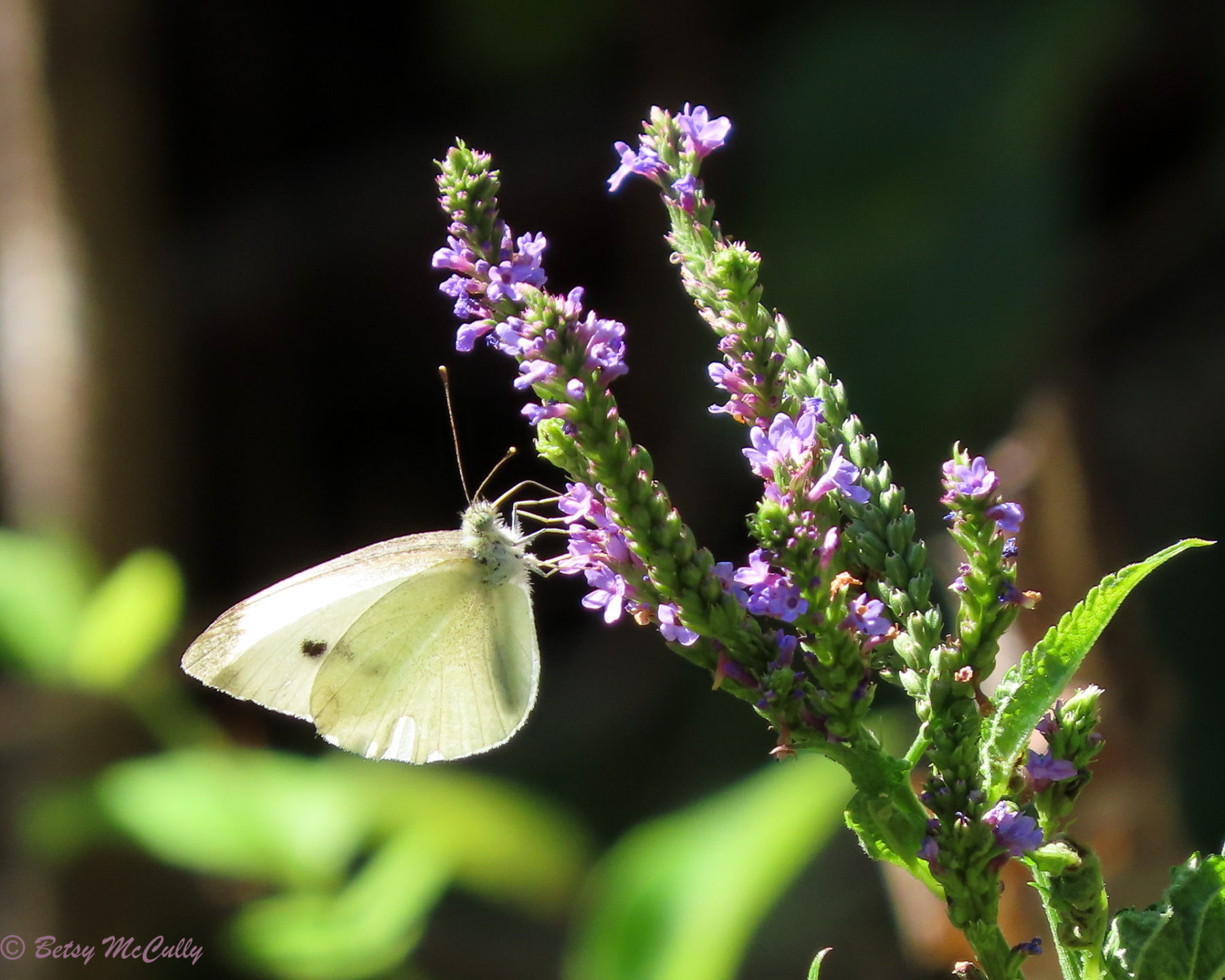 Photo of Cabbage White in blue vervain