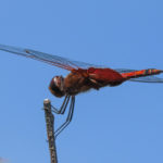 Photo of Carolina Saddlebags